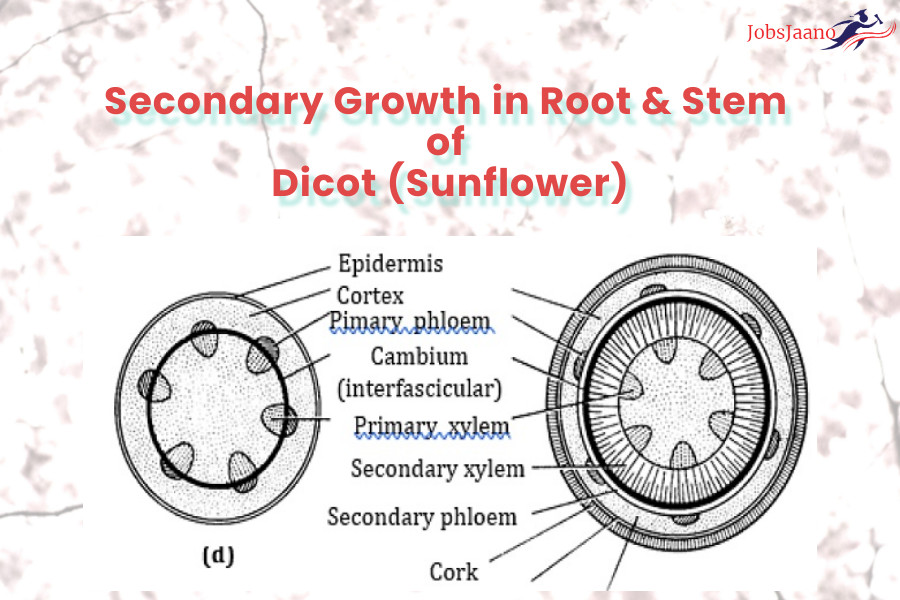 Secondary Growth in Root & Stem of Dicot (Sunflower)